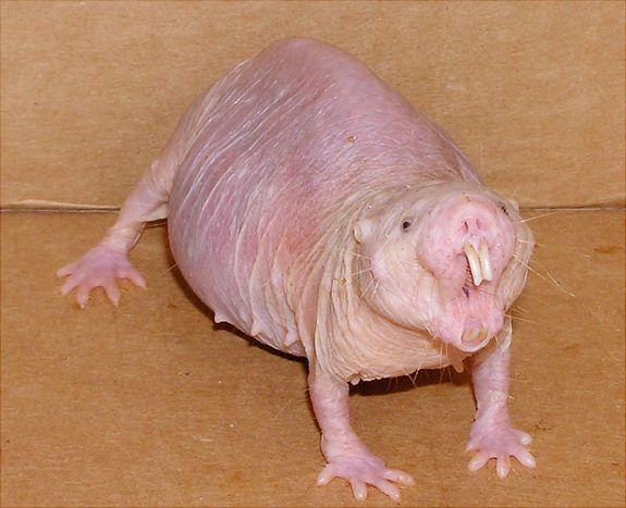 Angry female naked mole rat. Credit: Buffenstein/Barshop Institute/UTHSCSA