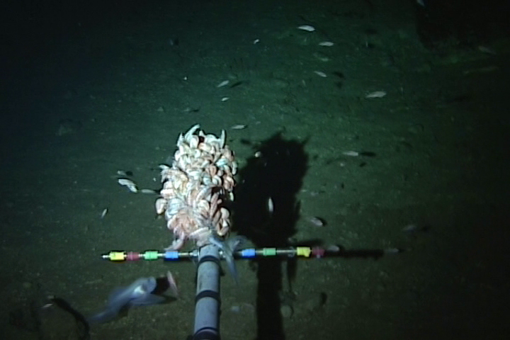 Figure 2: Deep sea amphipods feeding on the bait and the deepest fish at the bottom left corner.