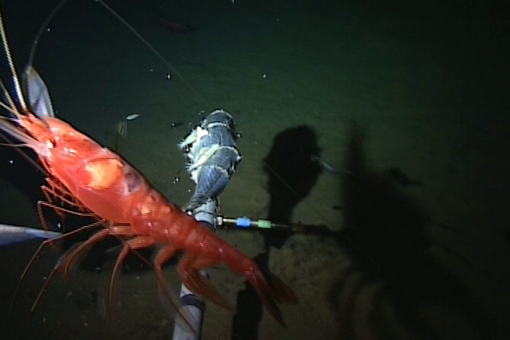 This one is a decapod found at 6,010m depth.