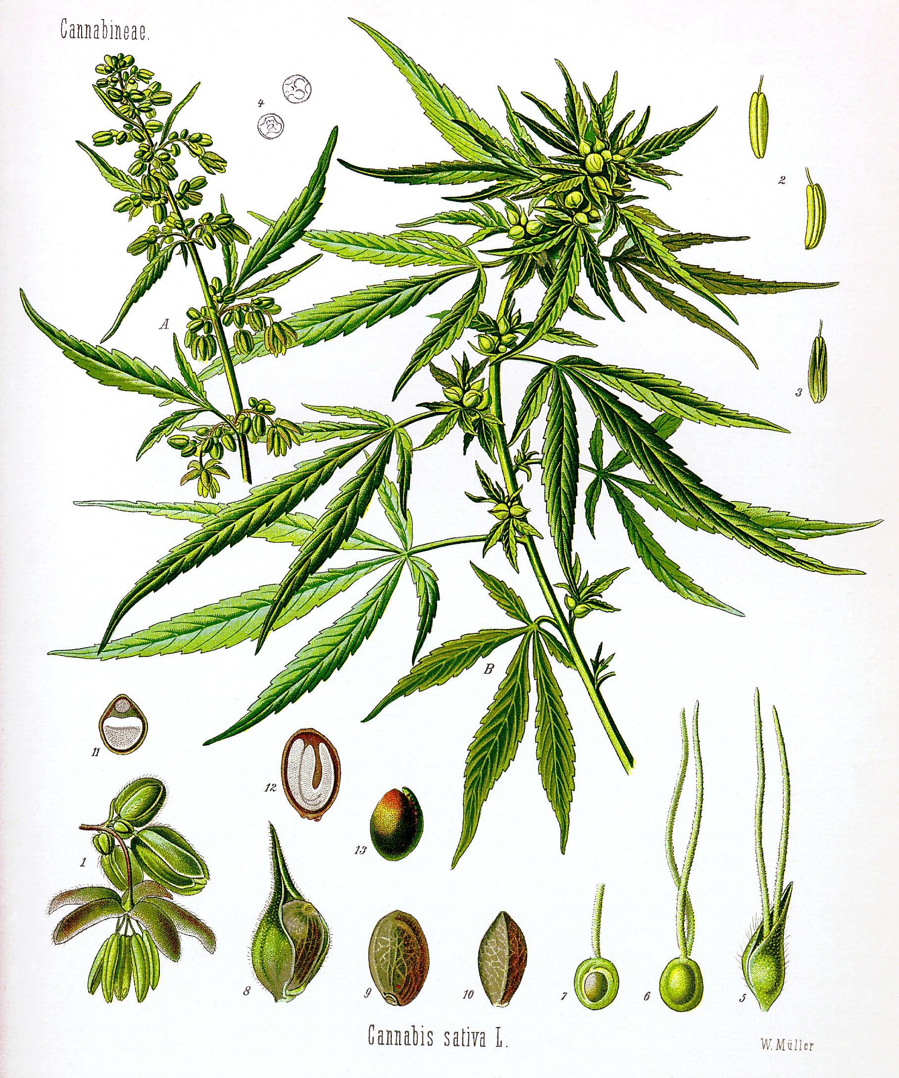Cannabis plant biological illustration