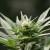 Controversial Cannabis